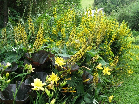 loosestrife-and-ligularia-11