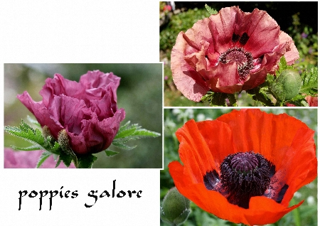 poppies-alore-450