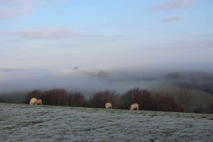 Sheep in mist